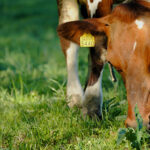 Ammuu! – Koskettavaa karja-arkea kuvissa